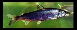 Fisch des Jahres 1999